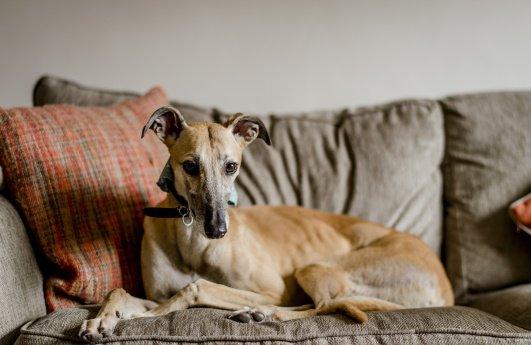 Gabby the greyhound