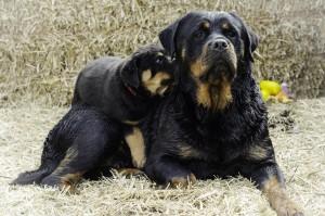 Roxanne with one of her own pups. Photo: Adam Szymborski