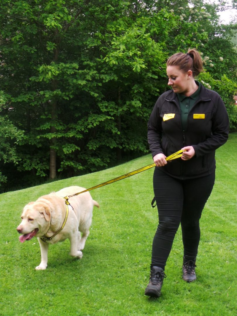 Charlie, pictured with Canine Carer Jenny Grugel, is enjoying getting out and about to help him shed the pounds