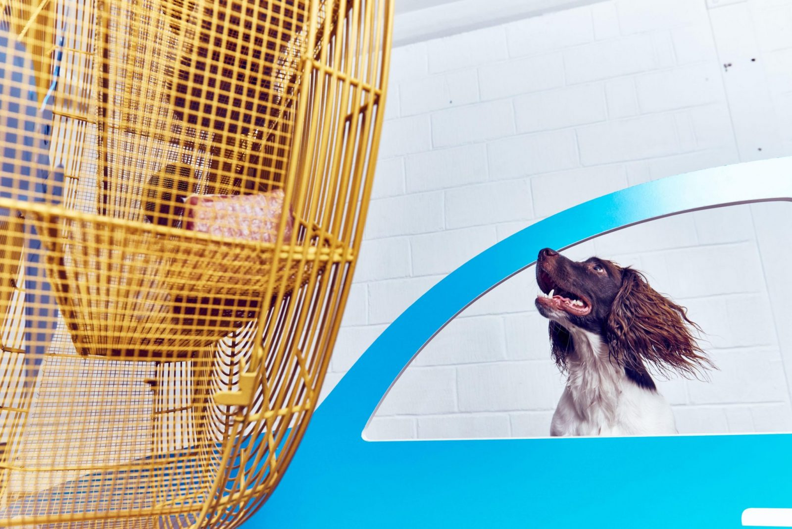 Friday 19th August 2016, Bermondsey, London: Today, MORE TH>N opens a contemporary art exhibition just for dogs in London. Artist Dominic Wilcox has created a series of interactive, contemporary art installations for dogs to enjoy, with each artwork based on an activity they love to do to encourage people to #PlayMore with their pets. This picture: ÔCruising CaninesÕ being enjoyed by a springer spaniel Ð an open car window simulator where a giant fan wafts a dogÕs favourite scents (such as raw meat and old shoes) through the air as a trio of dogs pop their heads through the windows of a pop art style car. For further information please contact Rachel Aldersley at Cow PR on 020 7234 9156 or morethan@cowpr.com PR Handout - free for editorial usage. Copyright: © Mikael Buck / MORE TH>N