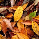 autumn_leaf_08nov17