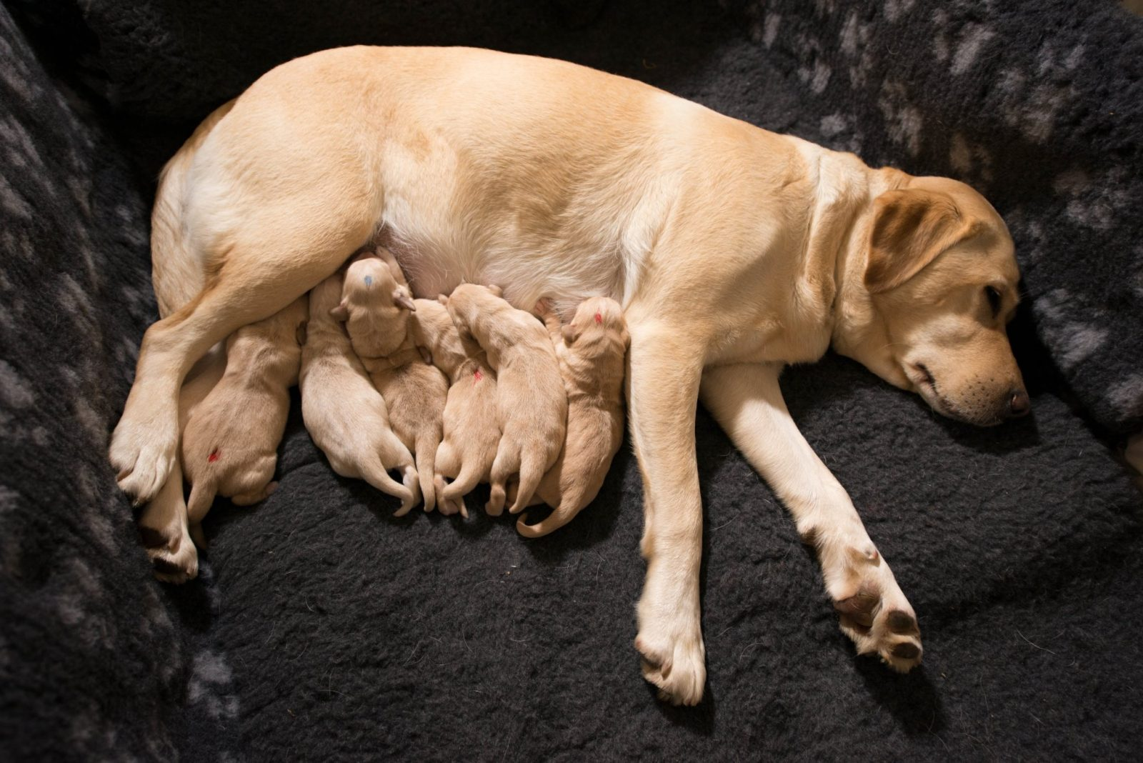 """From Plimsoll Productions PUPPY SECRETS : THE FIRST SIX MONTHS Wednesday 19th October 2016 on ITV Pictured: Labrador Golden Retriever cross puppy litter . The puppies have lots of growing to do before being considered by the Charity """"Dog For Good"""" as a suitable Assistance dog. Puppy Secrets follows 4 very special litters in loving detail. From tiny Chihuahuas to working Sheep Dogs; from Rescue pups in need of a home; to amazing Assistance puppies that will one day transform the lives of disabled people. Owners and breeders share their insights, and vet Mark Evans reveals some puppy secrets. We capture the rarely seen magic of birth and the early weeks; see the fun and frolics as our pups learn to walk and play; and follow them as they leave their litter mates and mums and go to new homes. Here, they will continue to develop the strongest bond of their lives Ð with us. © Plimsoll Productions For further information please contact Peter Gray 0207 157 3046 peter.gray@itv.com This photograph is © Plimsoll Productions and can only be reproduced for editorial purposes directly in connection with the programme PUPPY SECRETS or ITV. Once made available by the ITV Picture Desk, this photograph can be reproduced once only up until the Transmission date and no reproduction fee will be charged. Any subsequent usage may incur a fee. This photograph must not be syndicated to any other publication or website, or permanently archived, without the express written permission of ITV Picture Desk. Full Terms and conditions are available on the website www.itvpictures.com"""