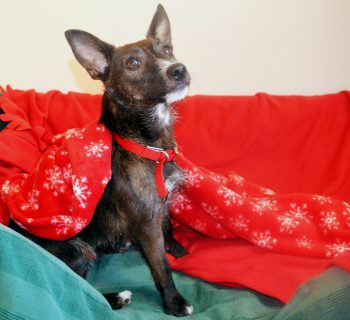 choccie-one-year-old-jack-russell-terrier-cross