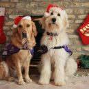 canine-partners-assistance-dogs-are-getting-excited-for-christmas