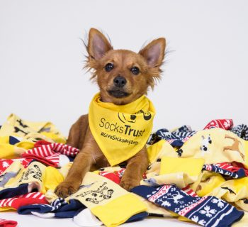 Ruby the Terrier cross pup shows off Dogs Trust's new range of limited edition socks following the charity's rebrand to Socks Trust.    Dogs Trust is taking a stand against impulse puppy purchasing by changing its name to Socks Trust and encouraging Brits to #GiveSocksNotDogs this Christmas. Championing the most conventional and possibly least returned Christmas present of all - a safe pair of socks - Socks Trust is working to prevent puppies being bought on a whim and later neglected when the reality of dog ownership sinks in. An exclusive line of festive socks featuring some of the loveable hounds left abandoned over the festive season can be purchased in support of the campaign from www.sockstrust.org.uk