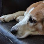 beagle-995637_1920