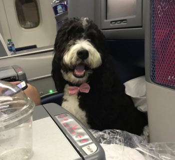 Dog on a flight