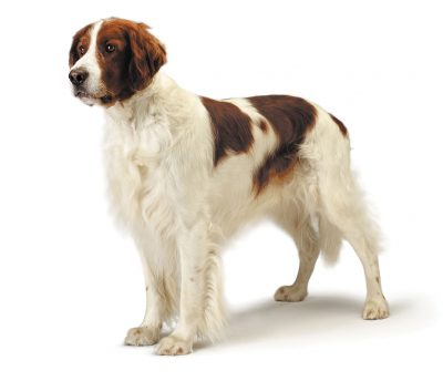 Irish Red and White Setter is in danger