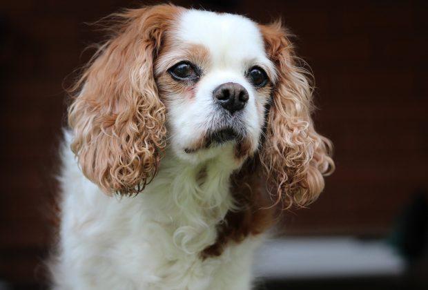 Dog with heart murmur