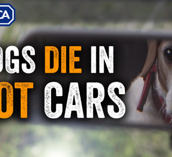 dogs left in hot cars