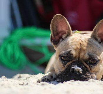 bulldog in hot weather