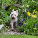 Westie tests Dogs Trust's dog-friendly garden at Hampton Court Flower Show 2016