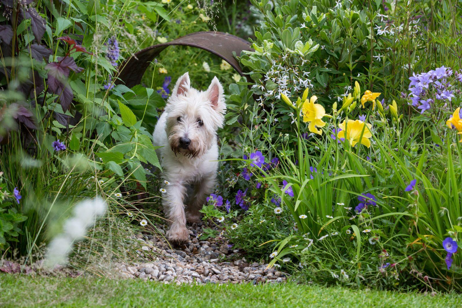 Westie tests Dogs Trust's dog-friendly garden at Hampton Court Flower Show 2016