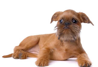 Brussels Griffon Dog Rescue Uk