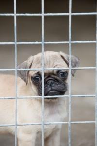 Quarantined Pug