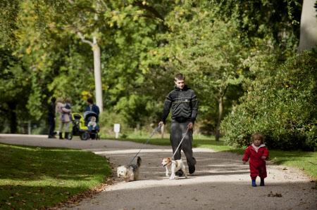 Visitor walking dogs at Attingham Park, Shropshire.