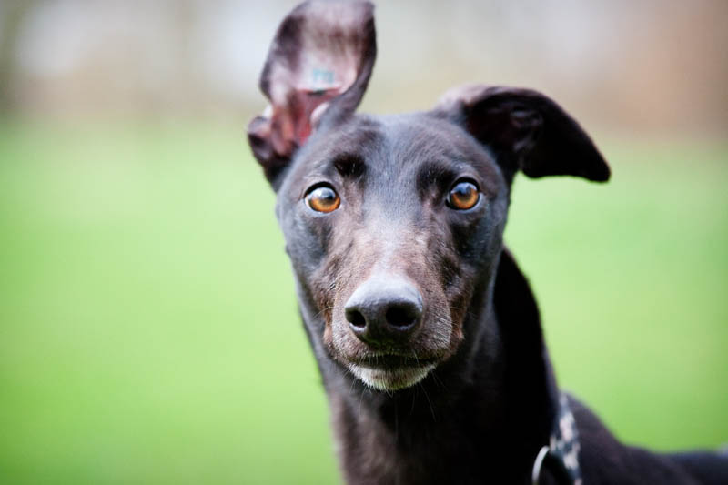 Greyhound Rescue Dogs For Rehoming