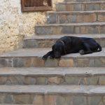 Microchipping dog