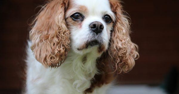 How To Treat Heart Murmur In Dogs