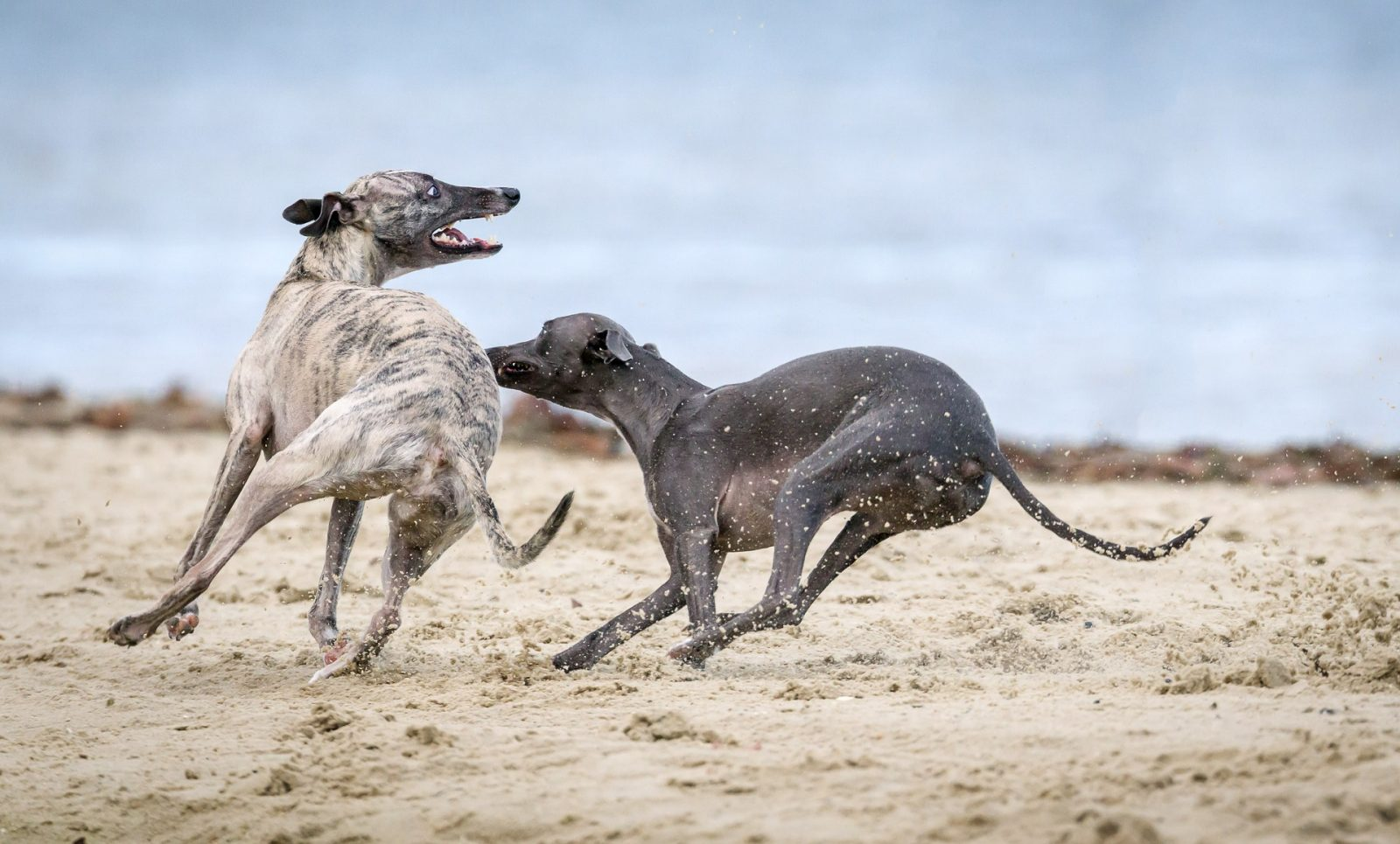traps for greyhounds