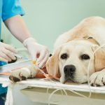 ladrador dog under vaccination in clinic