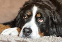 Dogs have been known to alert owners to monoxide leaks