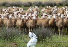 Can dog poo pose a risk to livestock?