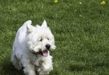 Does my old Westie have doggie dementia?