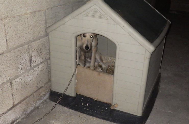 A Lurcher inside the kennel