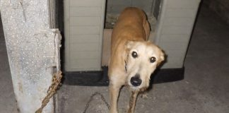 lurcher chained to kennel