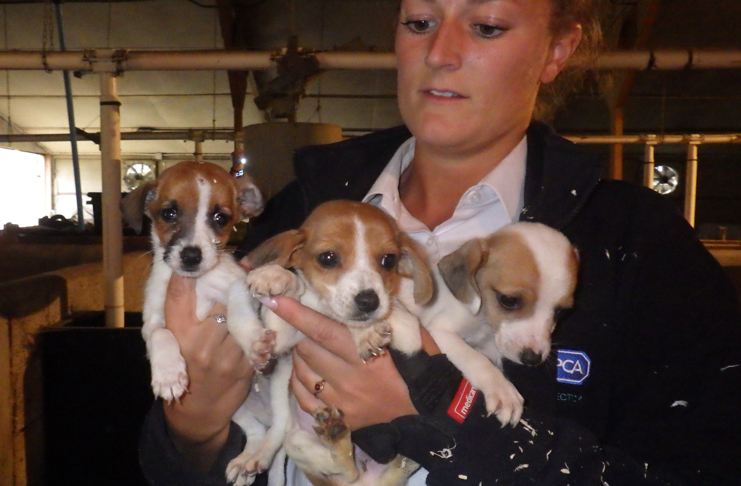 Three puppies found at the puppy dealer's premise