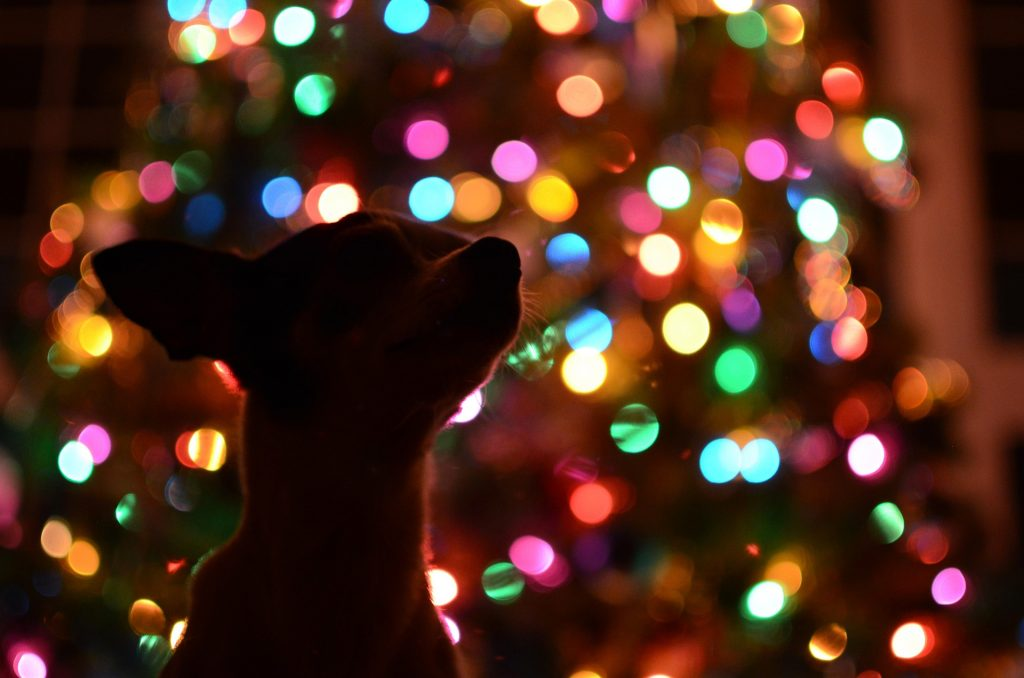 A chihuahua in front of a Christmas tree