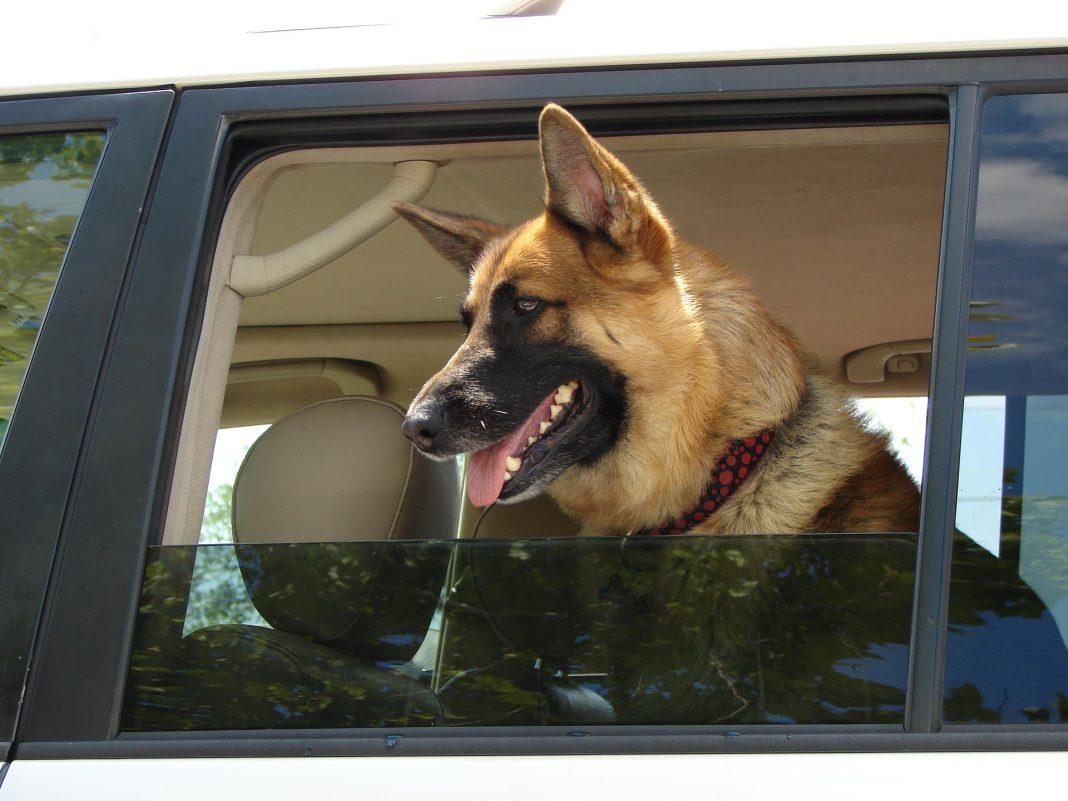 German Shepherd in car - travel sickness