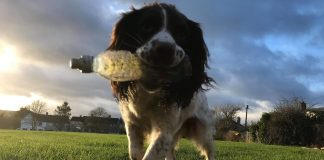 Springer Spaniel Teigan holds a bottle in his mouth