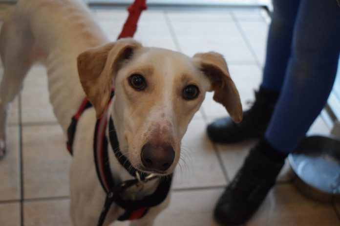 Tinker, the Lurcher, has been reunited with her family