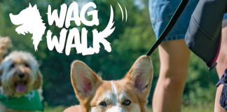 Corgi at the Bath Wag Walk