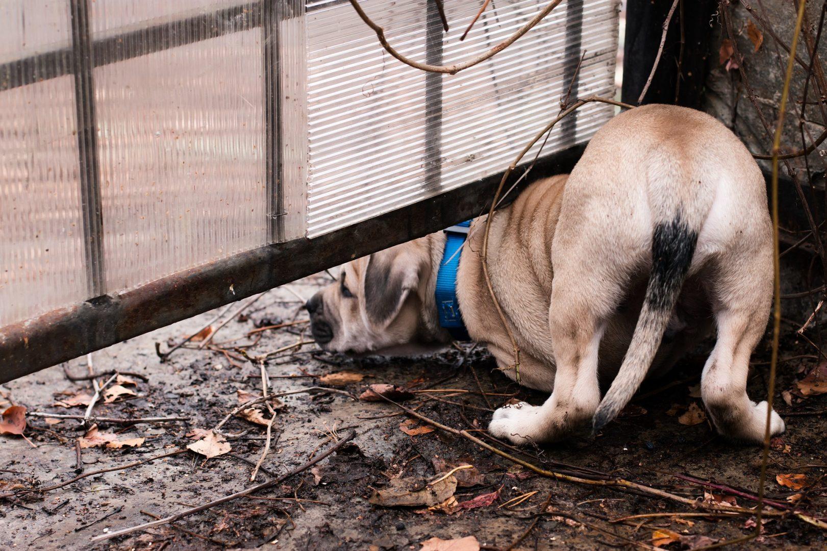 Dog peering under gate