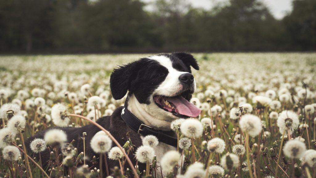 Dog in a dandelion field