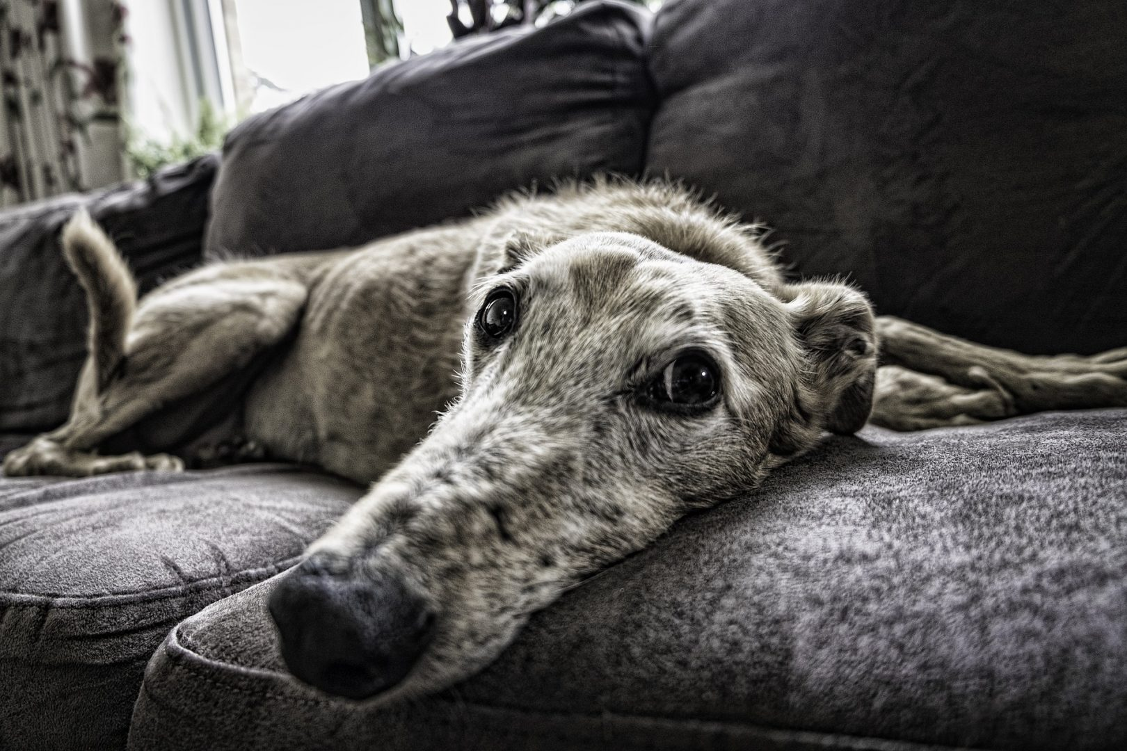 Greyhound on sofa