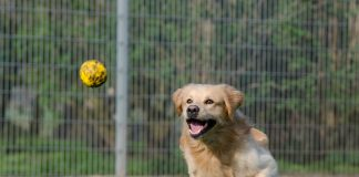 Golden retriever playing fetch