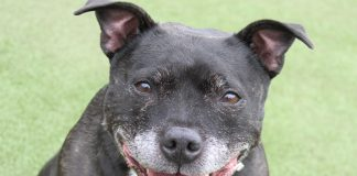 Bridie-is-the-oldest-Staffordshire-Bull-Terrier-looking-for-a-home.