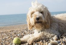 Cockapoo on the beach