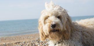 Cockapoo on the beach
