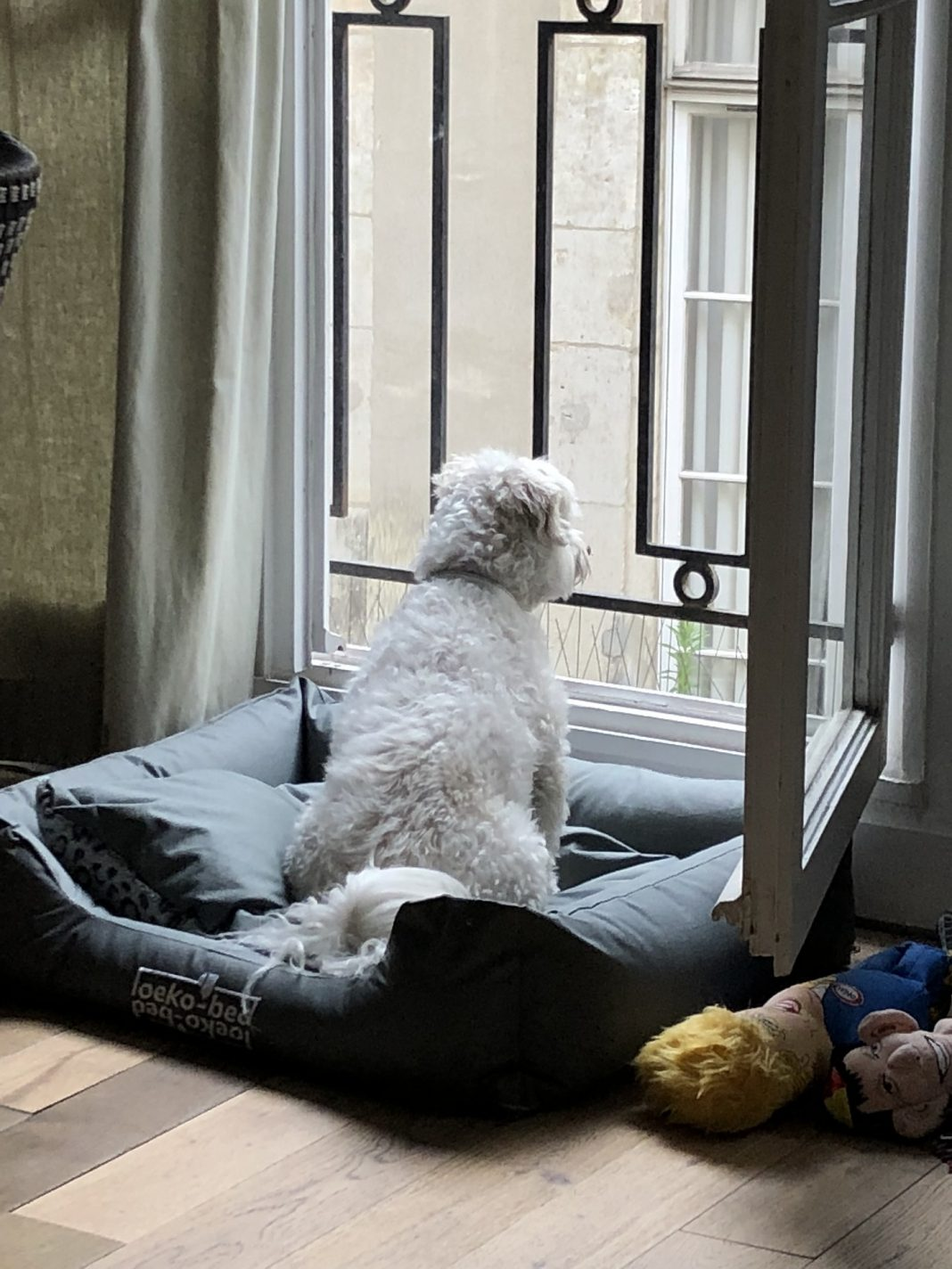 Dog watching out of window