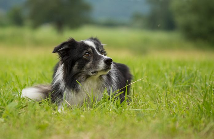 bORDER COLLIE IN THE GRASS