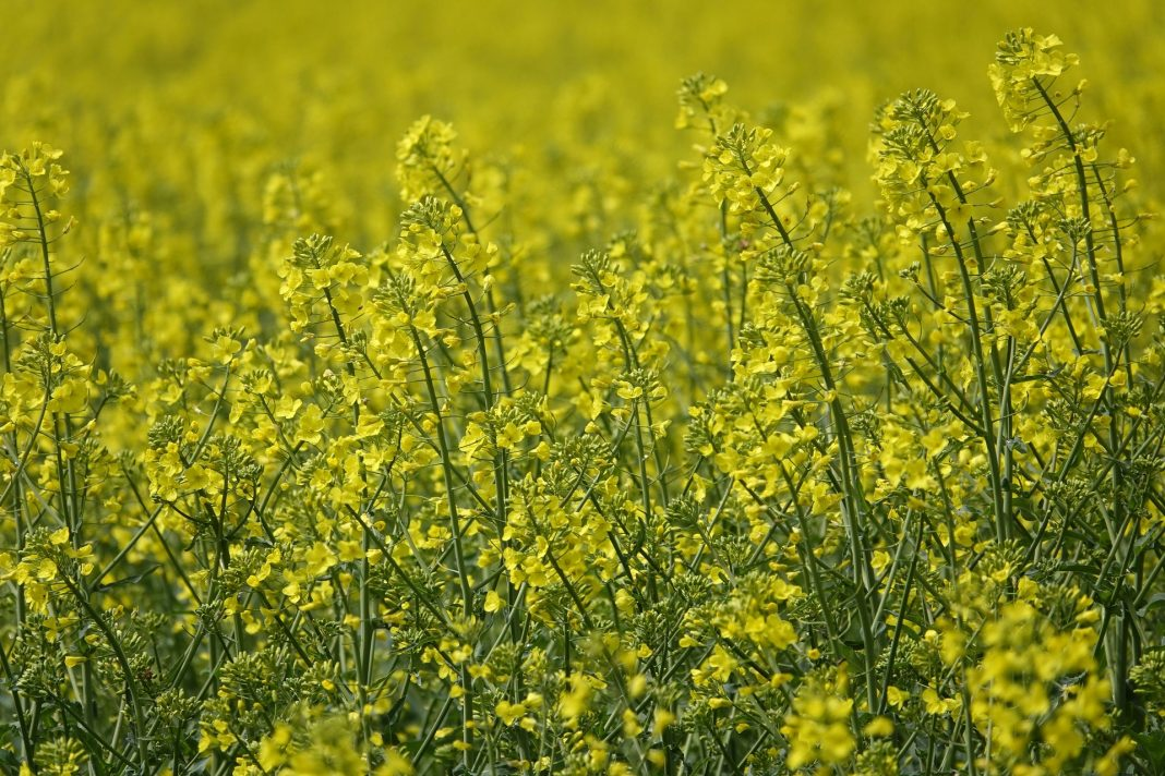 Field of oilseed
