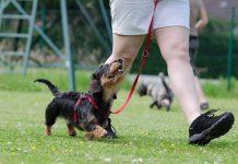 Dachshund loose lead walking