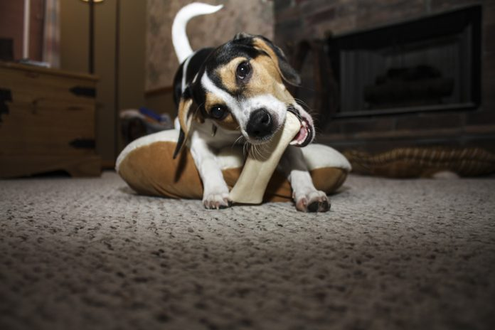 Jack russell chewing on bone