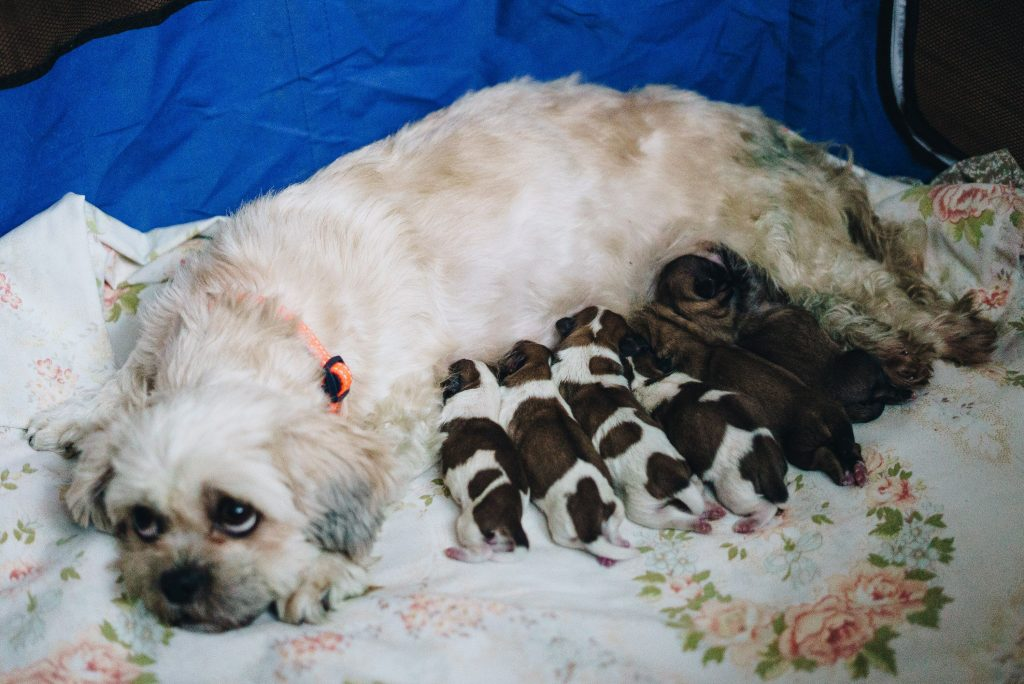 Abbey with her six puppies