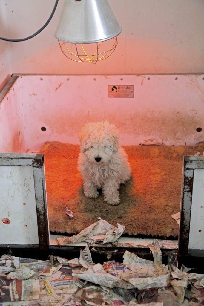 Puppy farming